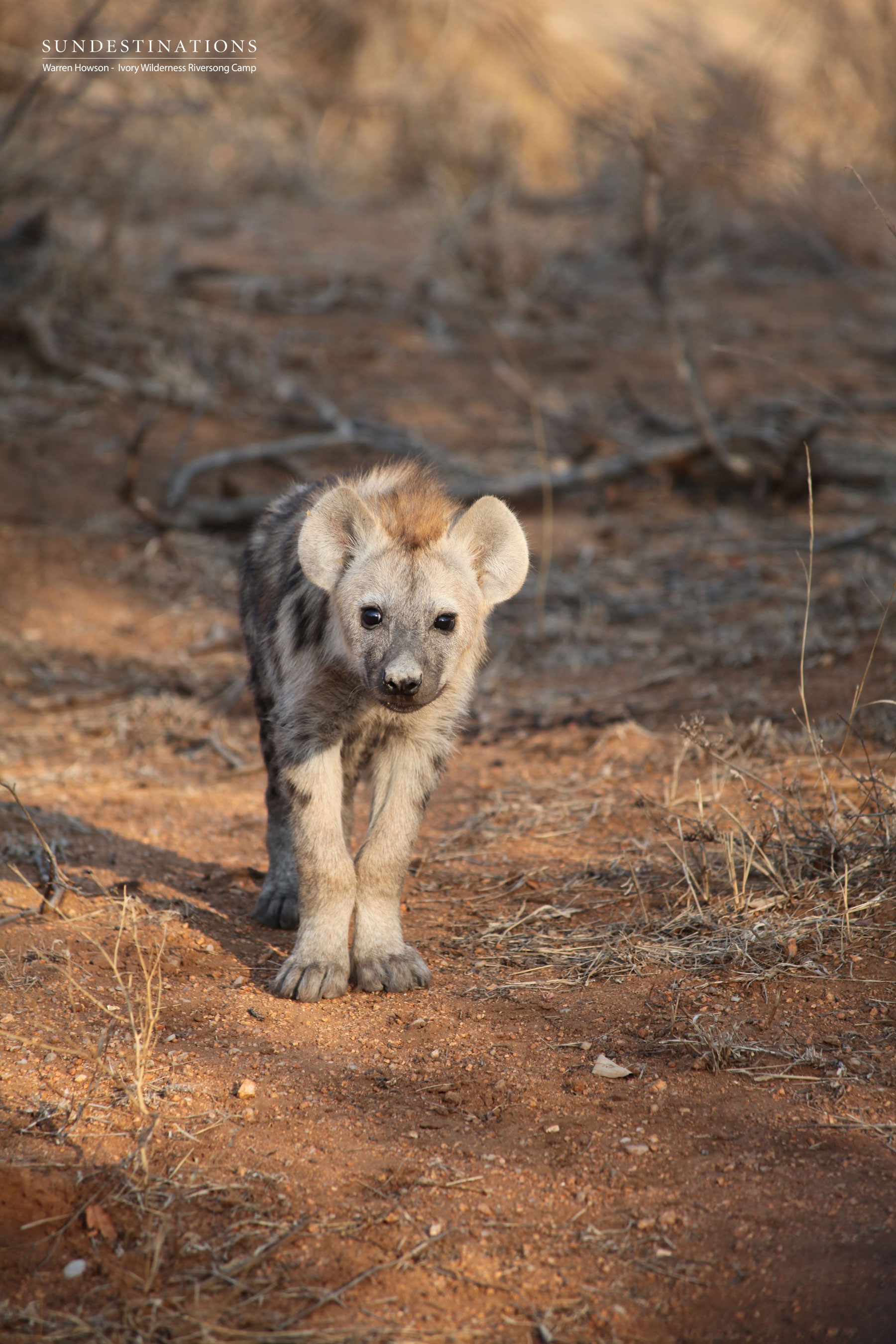 Ivory Wilderness Cub