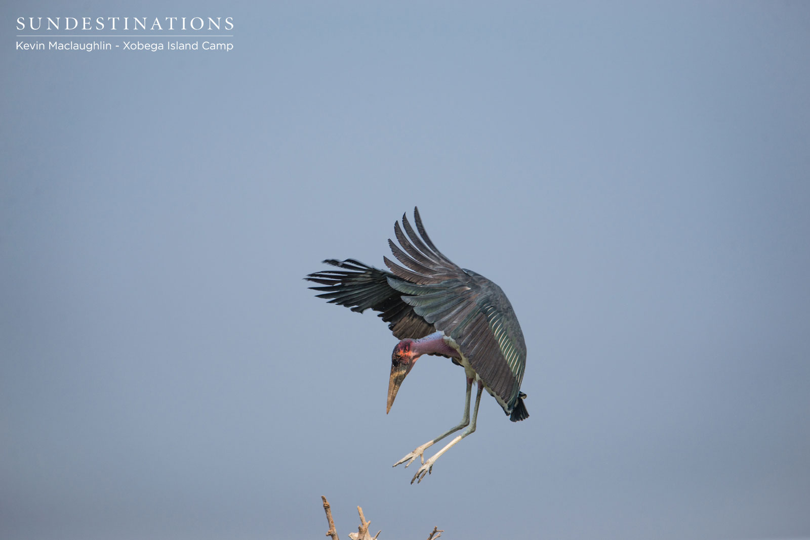 Marabou Stork Xobega