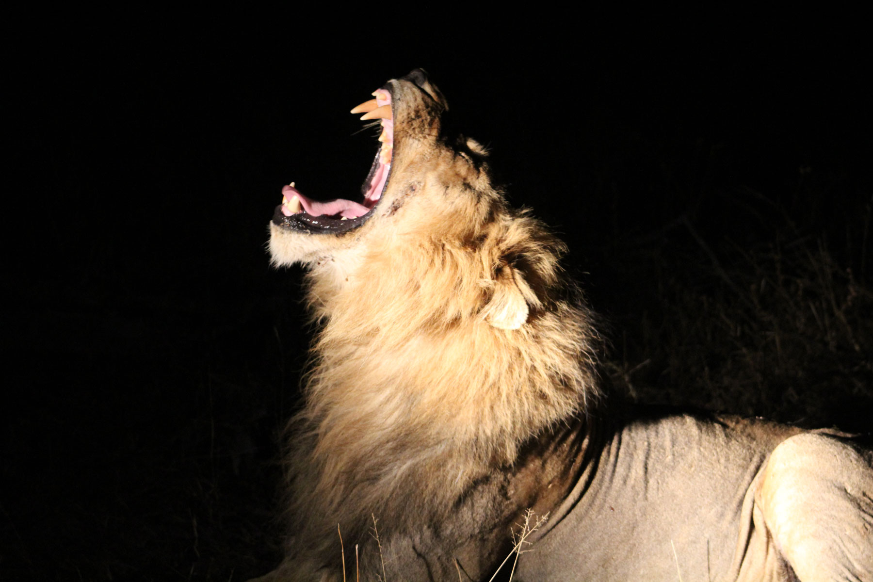 Max Roberts Lion