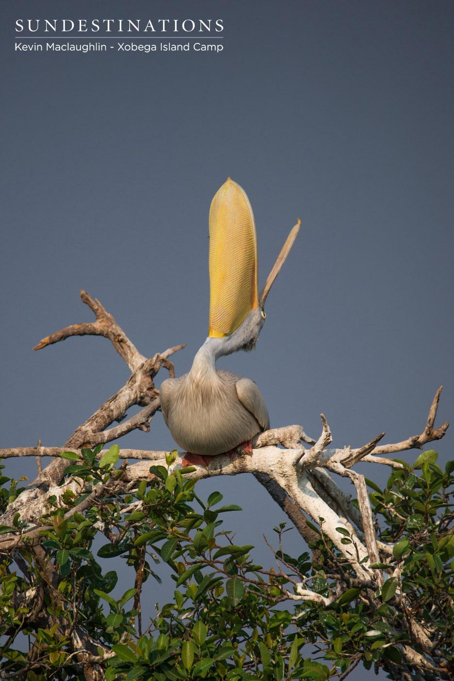 Pelican Xobega