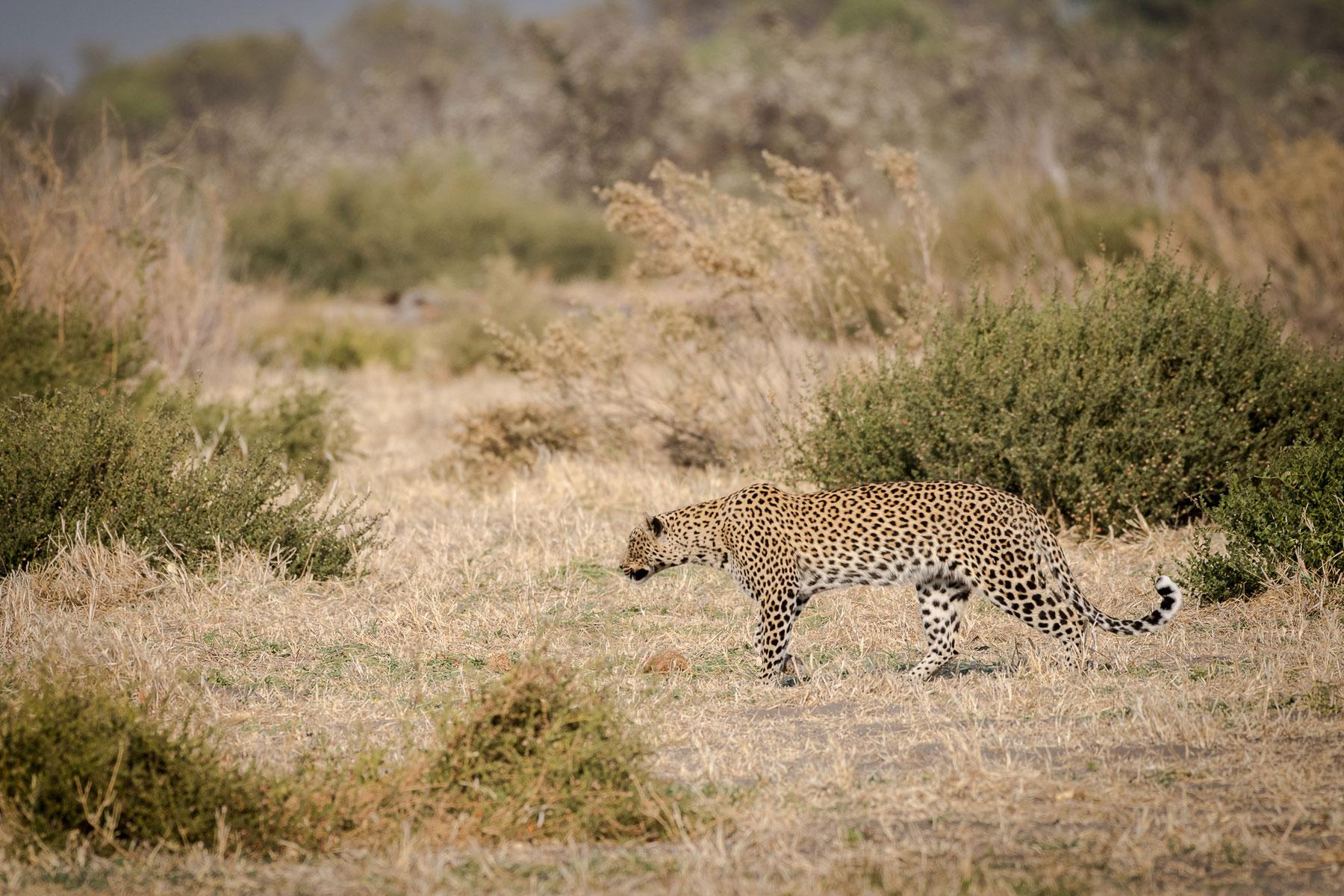 Leopard Camp Savuti