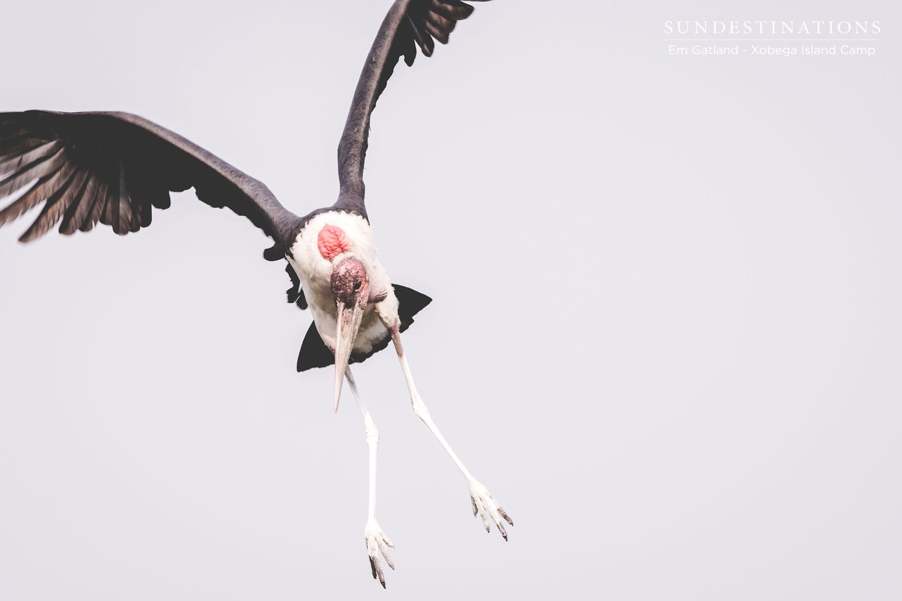 Xobega Marabou Stork