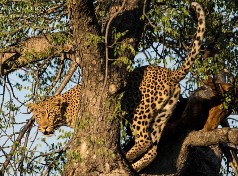 Klaserie Wild Dogs Displace Leopard from Kill