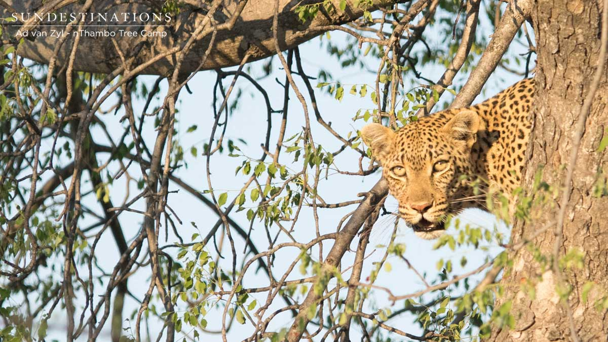 Leopard in Klaserie