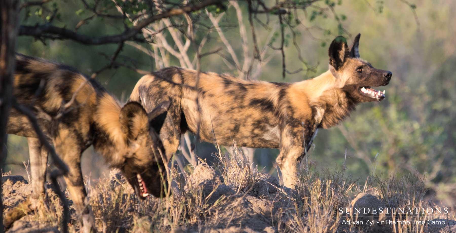 Wild Dog on Leopard Kill