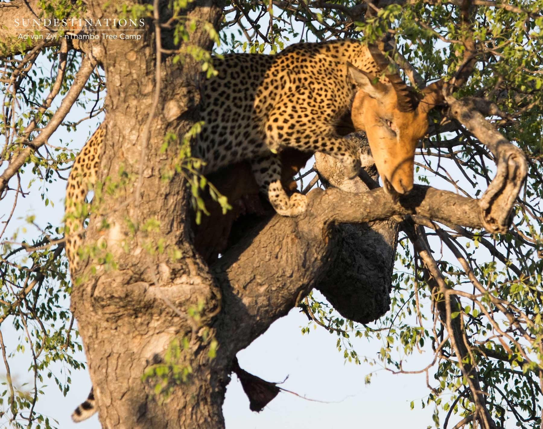 Leopards with Impala Kill