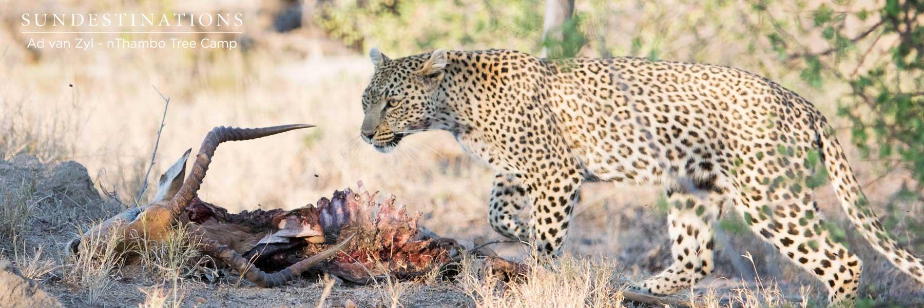 Leopard on a Carcass
