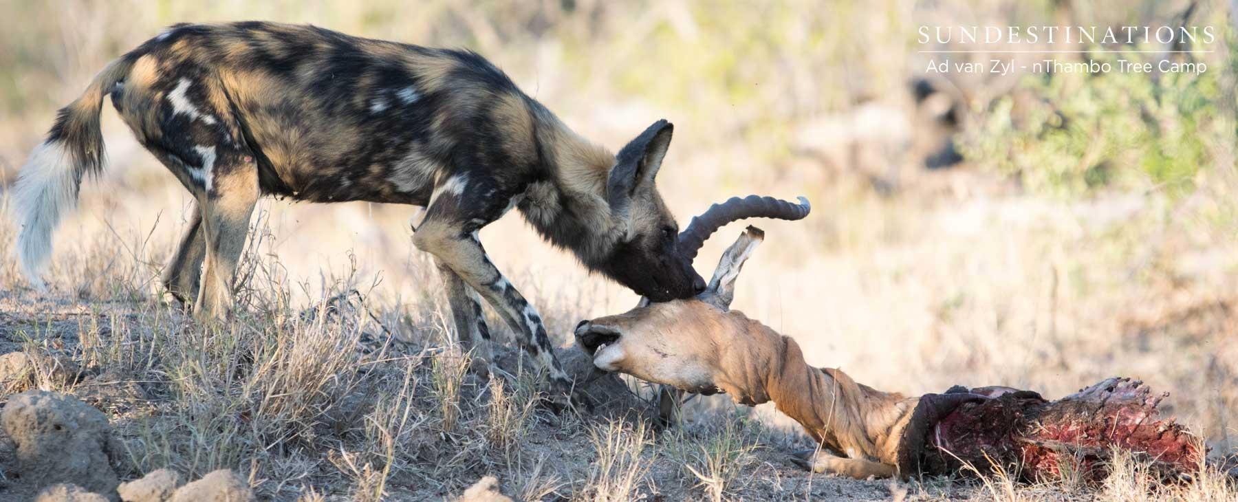 Wild Dog with Leopard's Kill