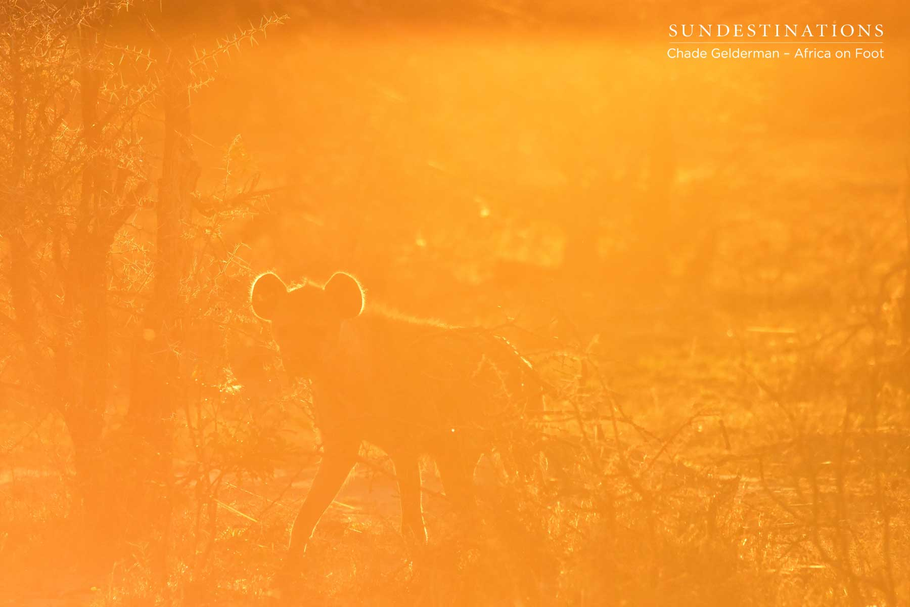 Hyena in the Hazy Light