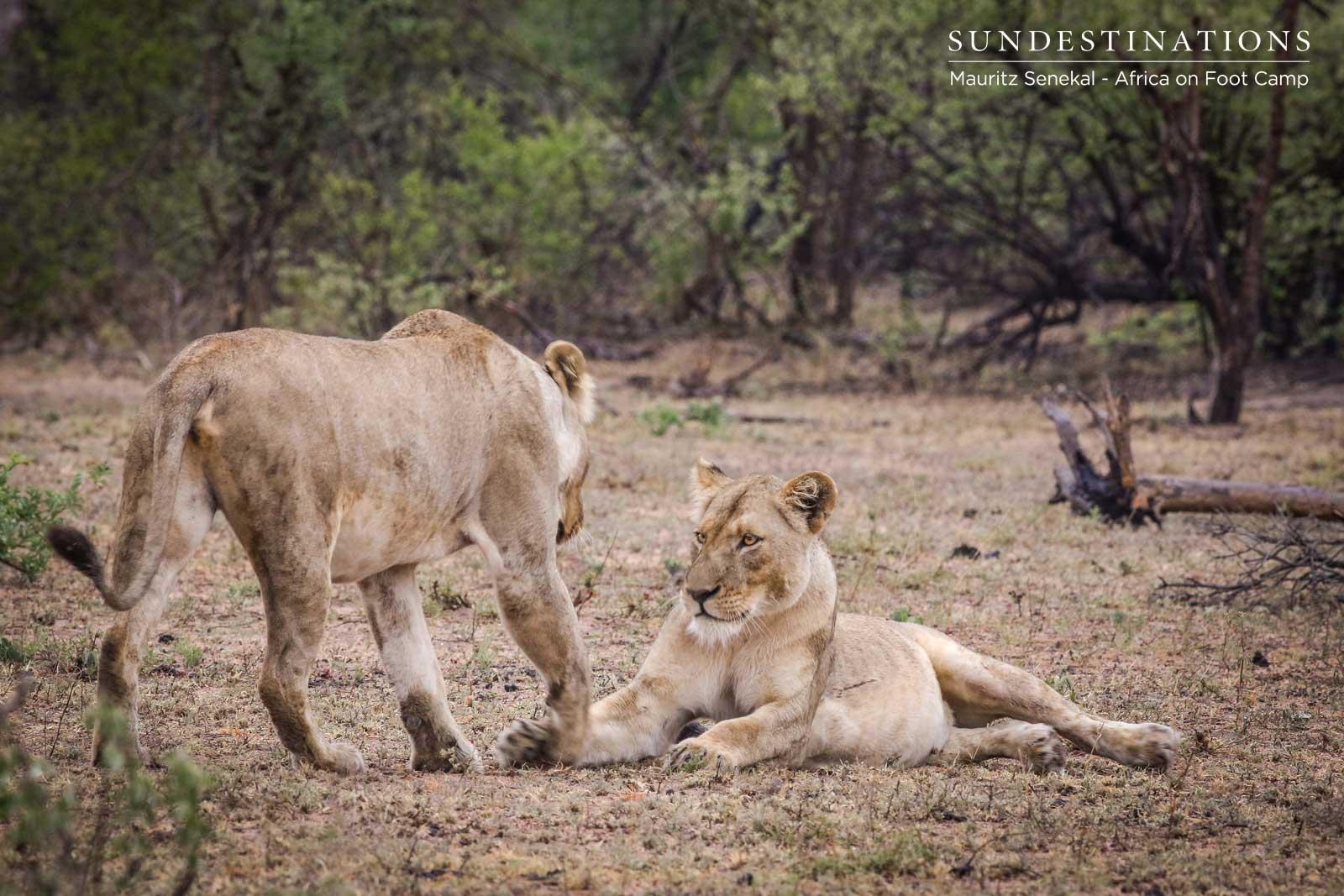 Ross Pride Breakaway Lionesses