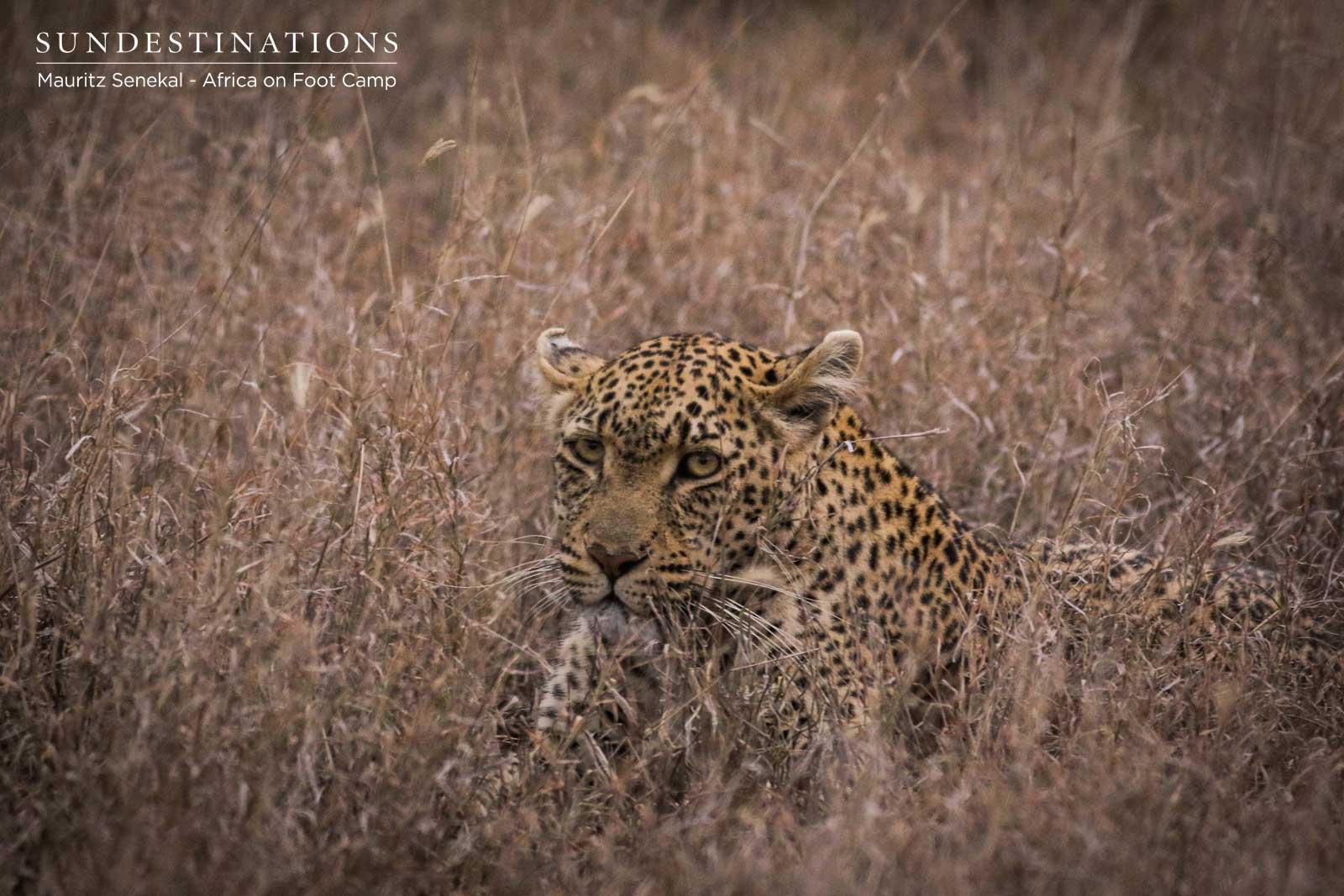 Ross Dam Leopard