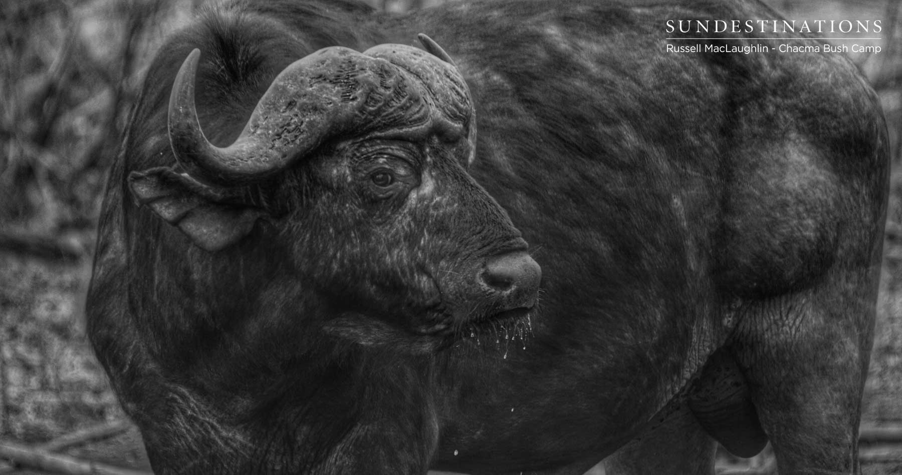 Buffalo at Chacma Bush Camp