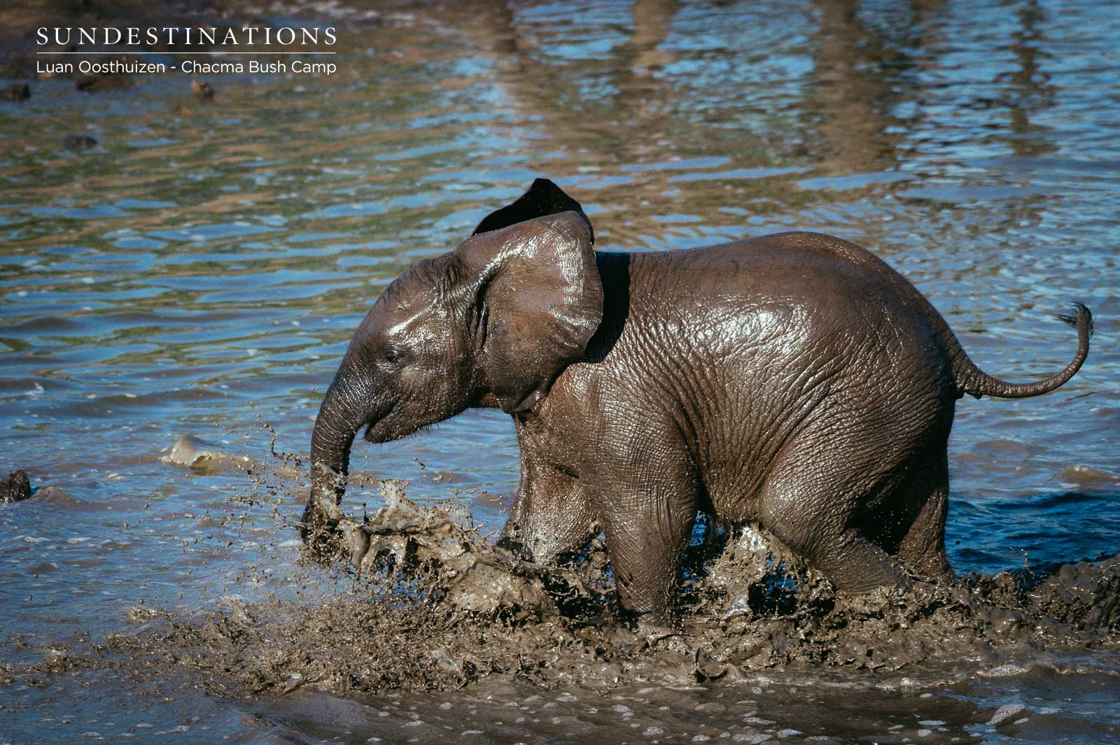 Chacma Elephant Calf