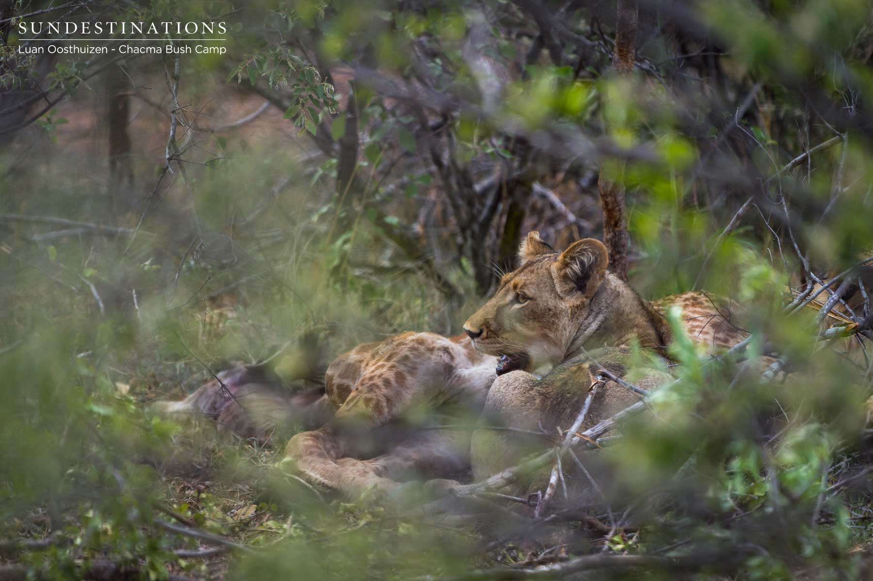 Maseke Male Lions