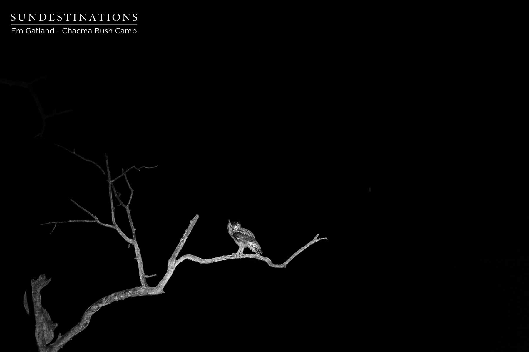 Owl in the Darkness at Chacma