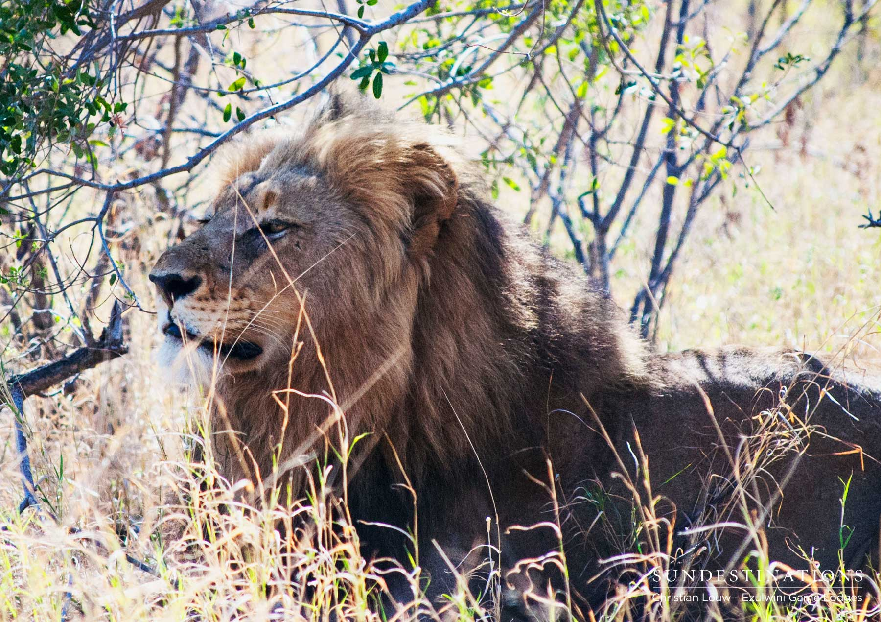 Male Lion at Ezulwini Game Lodges