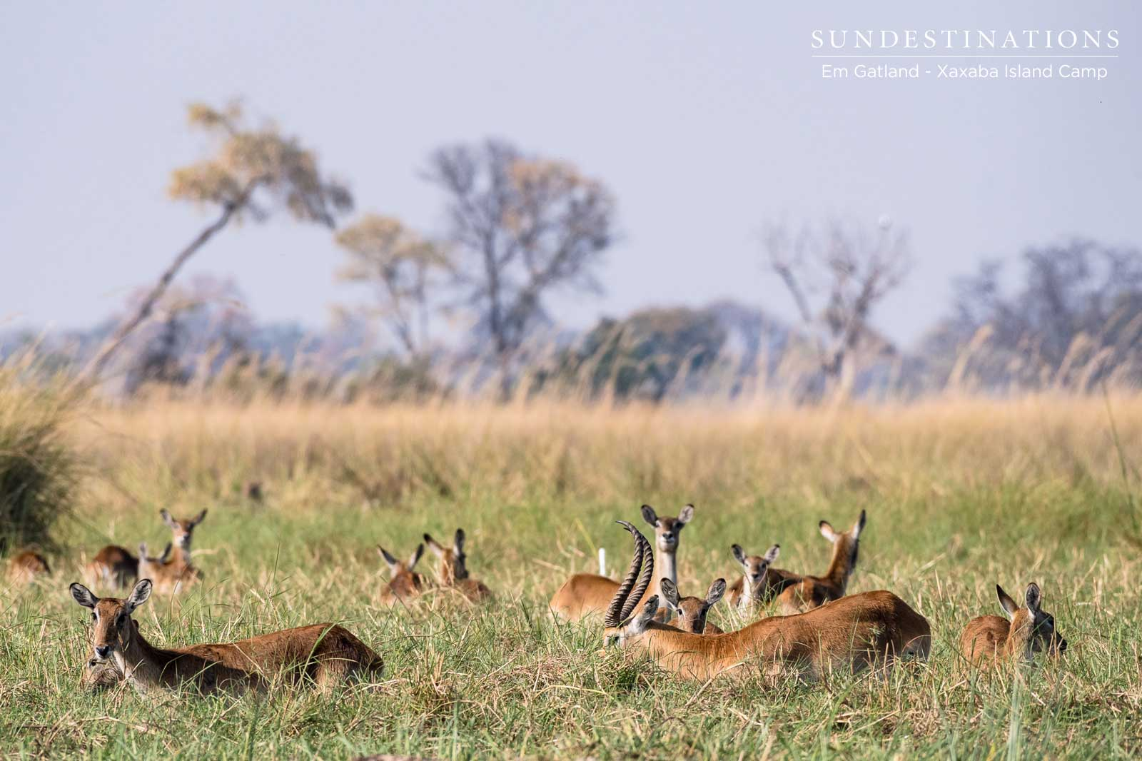 Red Lechwe Xaxaba