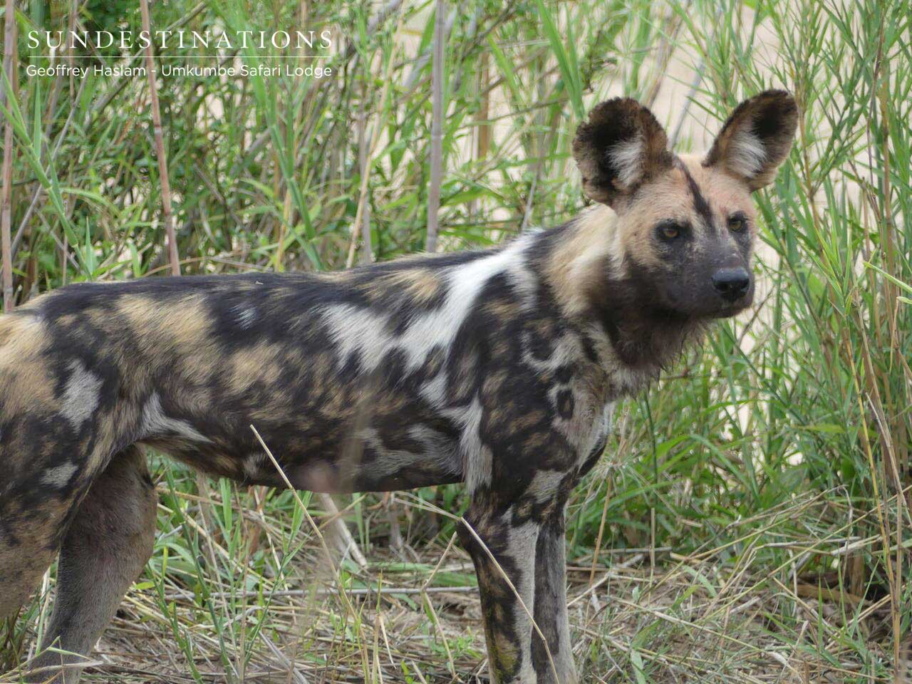 African Wild Dogs at Umkumbe