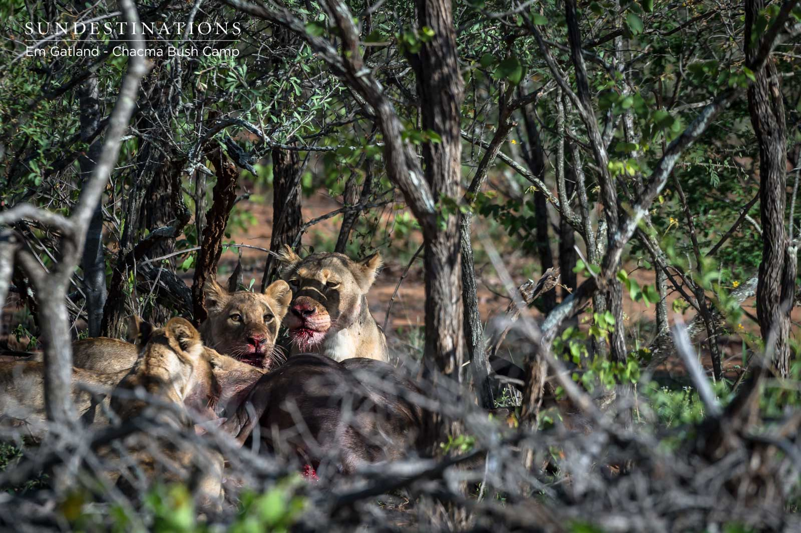 Lionesses on Kill at Lamai Gate