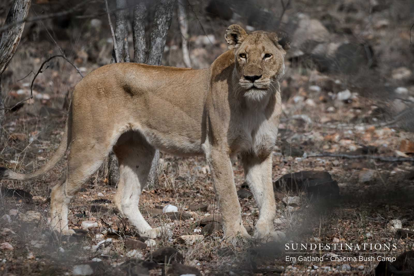Lions of the Maseke : Lionesses, Sub-adults and The Bushveld Kings