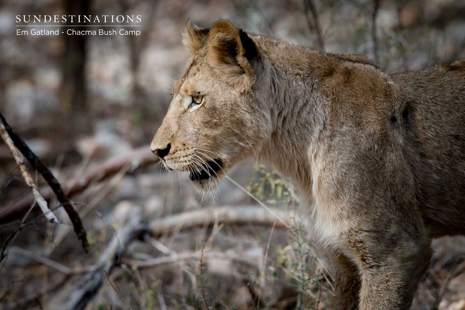 Maseke Lion Cubs in Maseke