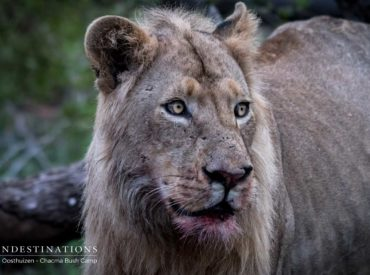 """A couple months back we introduced you to a coalition of6 burly male lions that we know as the """"Maseke Males"""". These lions patrol their turf with vigour and appear to be in elite physical condition, with two older males seemingly dominating the rest. Our sightings have included the full pride of boys, and then […]"""