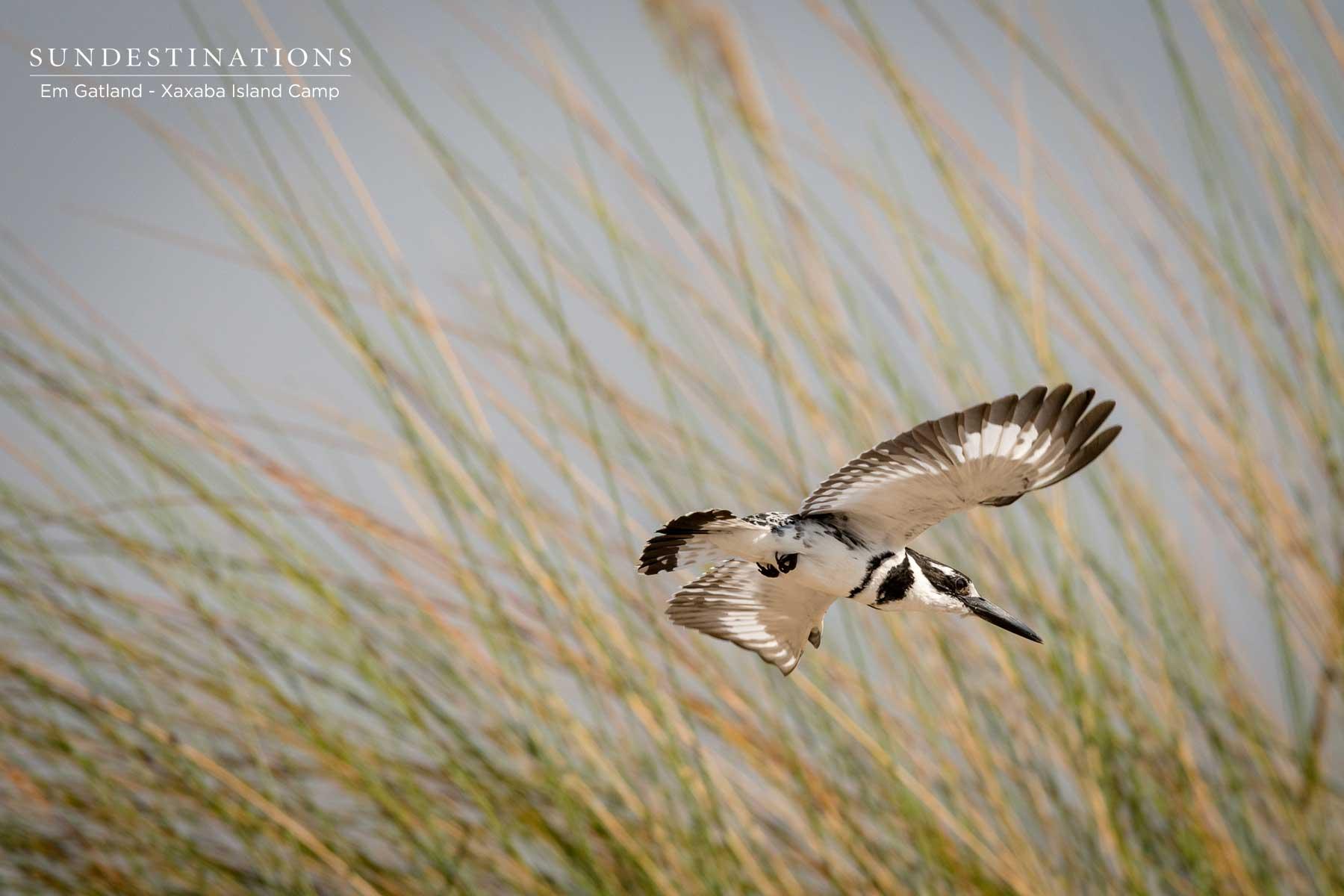 Okavango Delta Pied Kingfisher