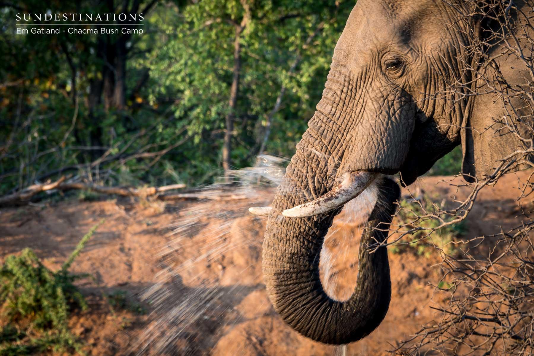 Chacma Elephant Tusk