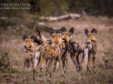 2017 is drawing to a close, and the year has plummeted into oblivion as quickly as a pied kingfisher dive bombs its prey. The year has been an interesting one, with new camps climbing aboard the Sun Destinations portfolio and a marked shift in lion pride behaviour across all of the reserves.  The four […]
