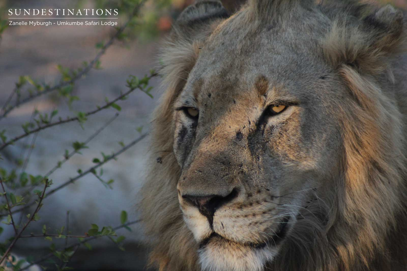 Avoca Male Lions in Sabi Sand