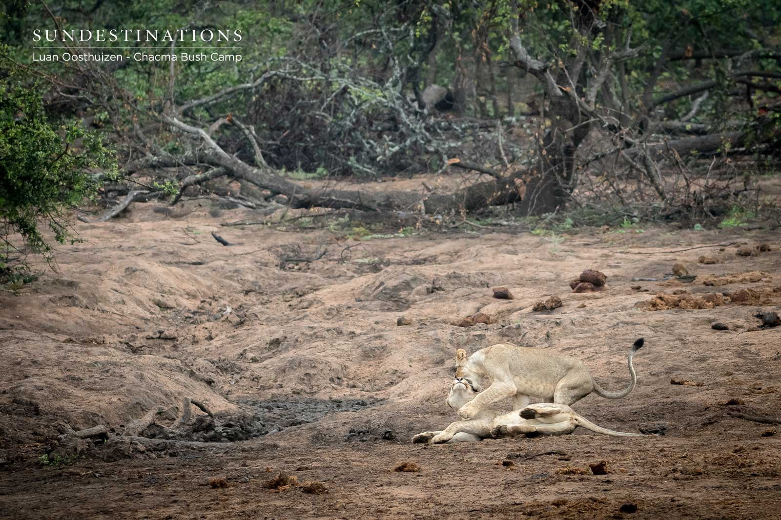 Chacma Lions Play with Owl