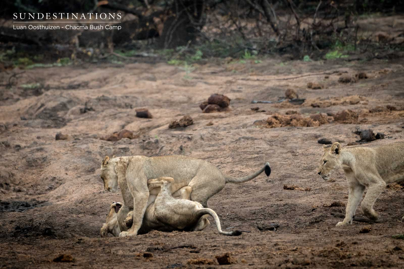 Chacma Lions at Play