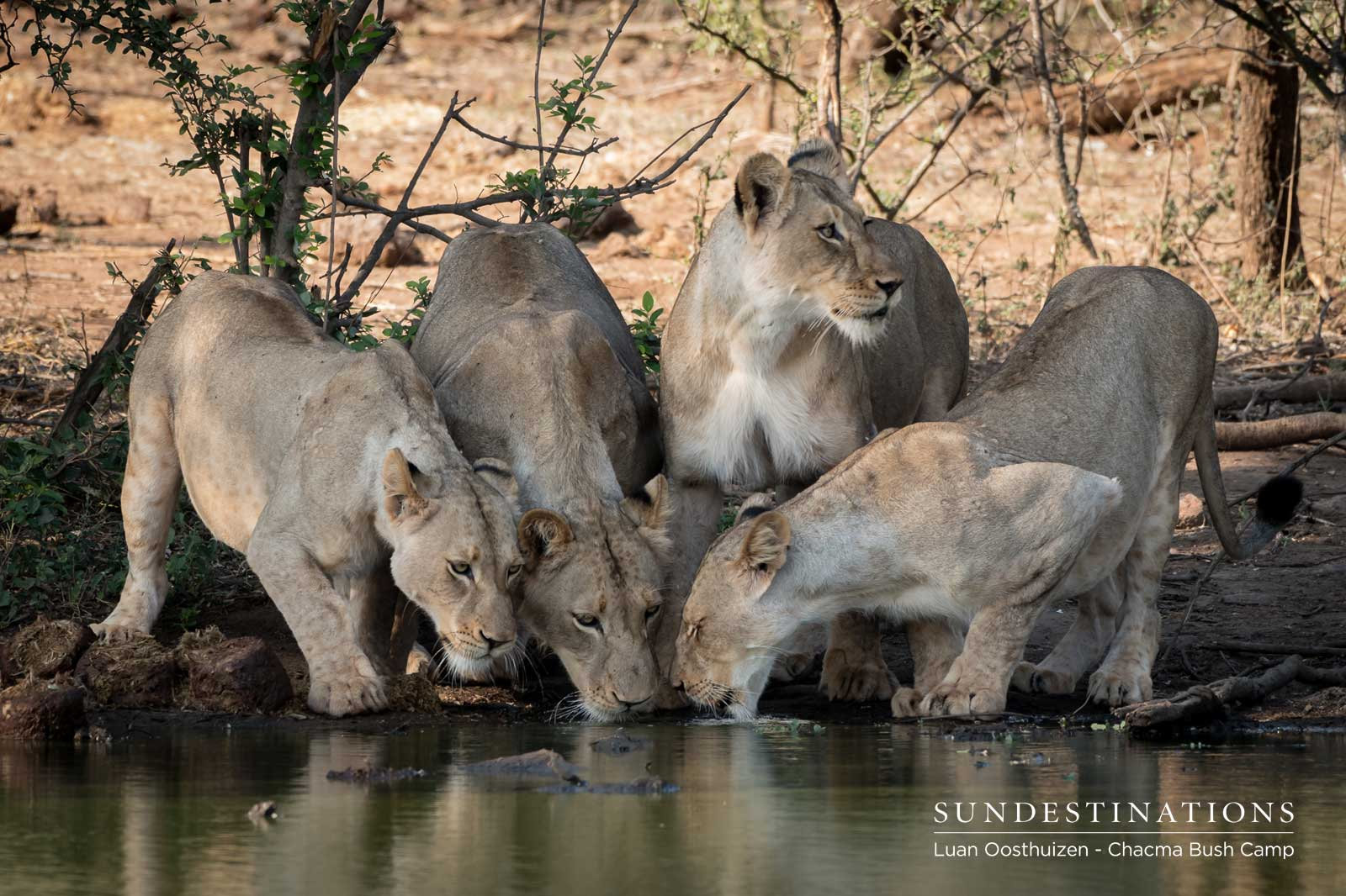 Lions Stopping for a Drink