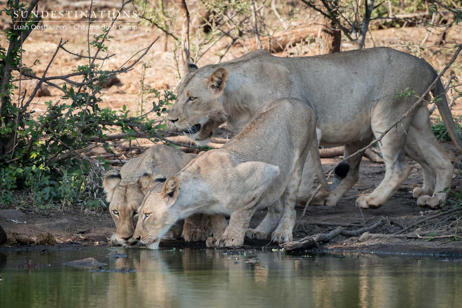 Maseke Lions Drink at Waterhole