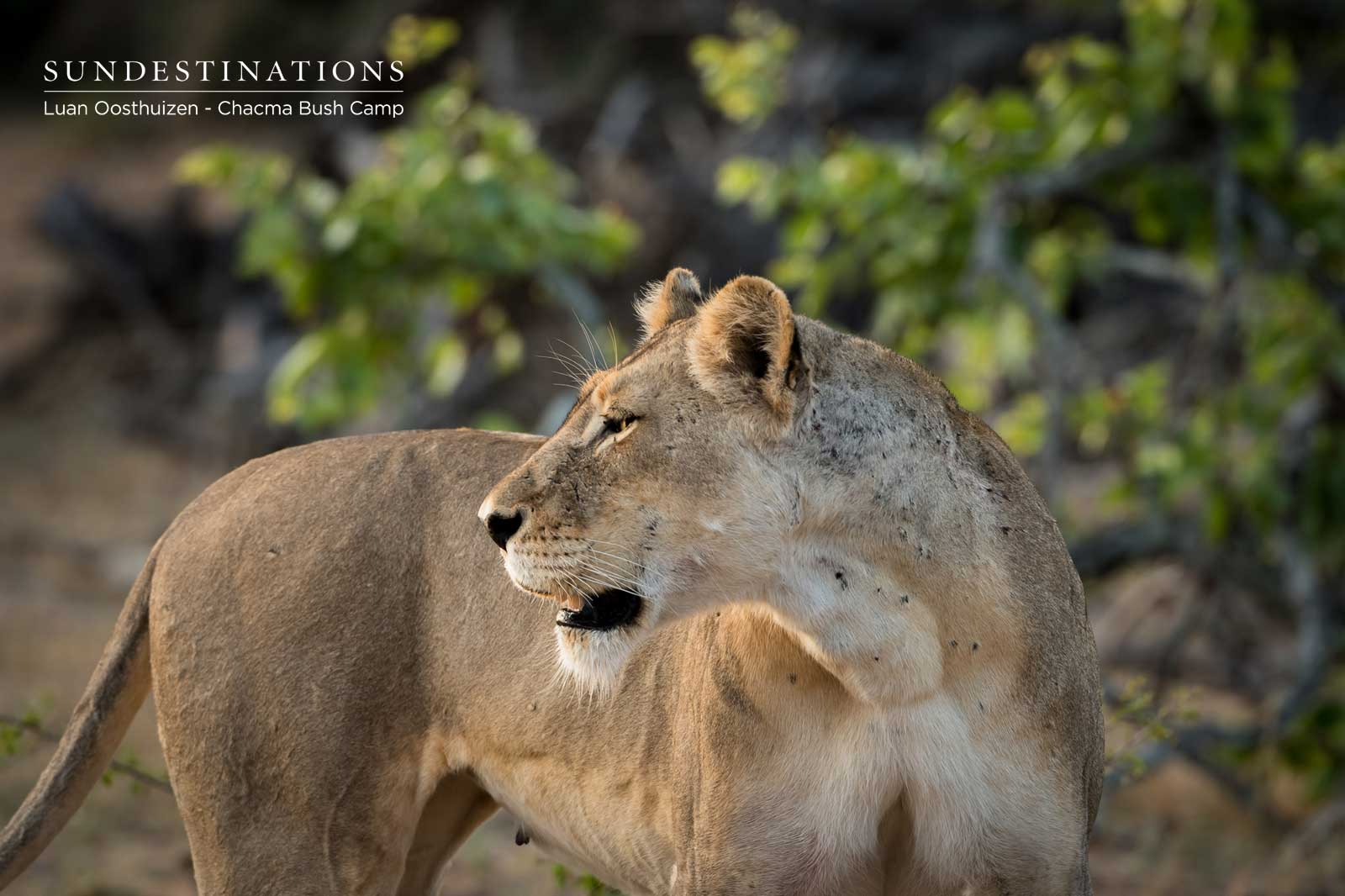 Chacma Lioness