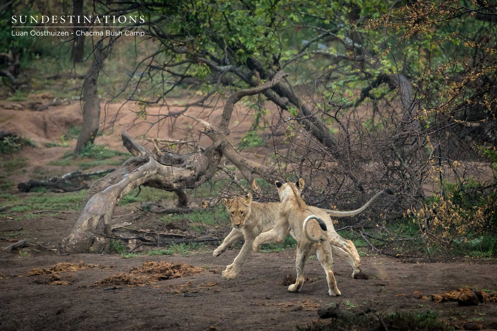 Lions at Chacma Play