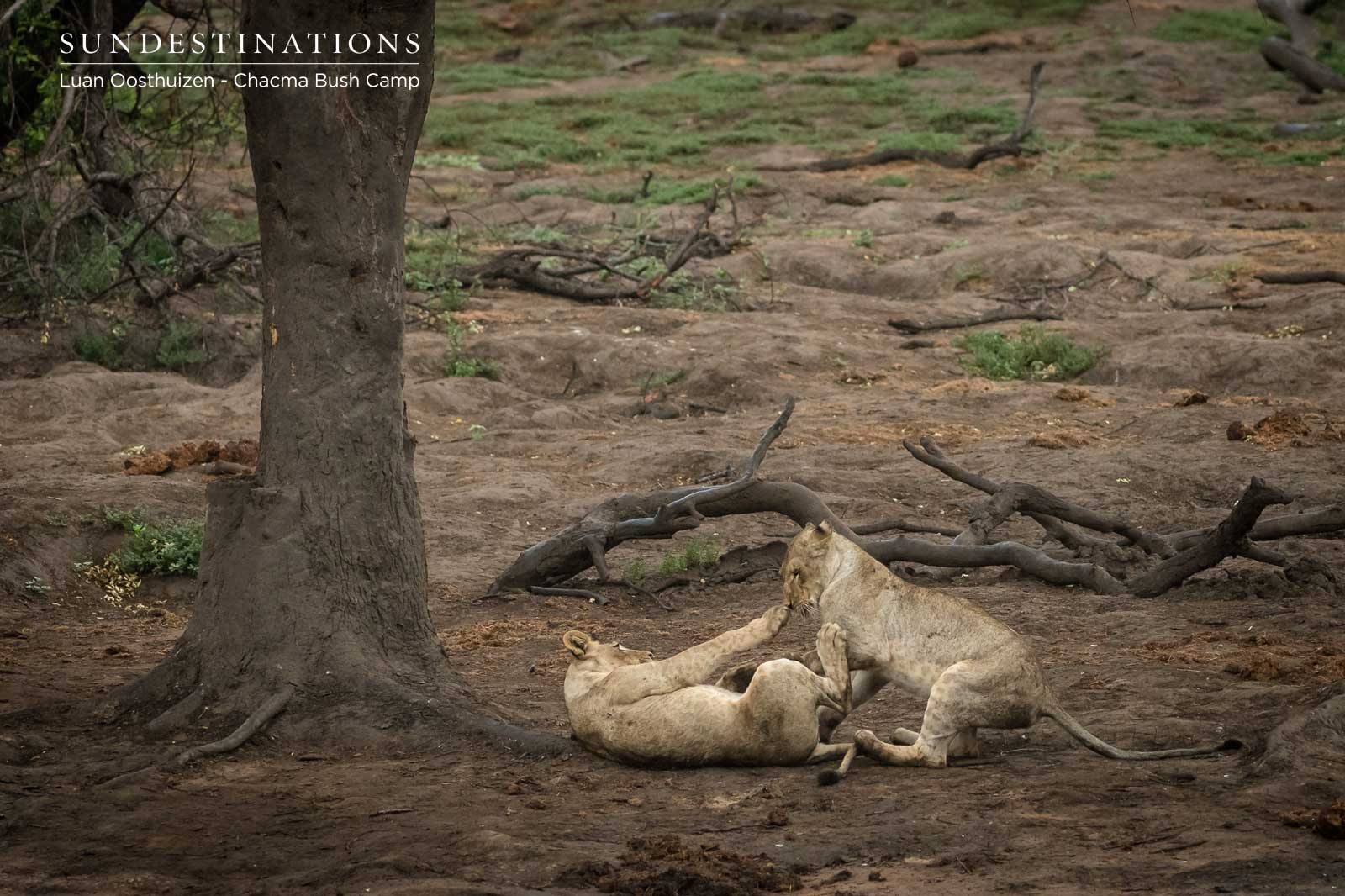 Chacma Lion Cubs Play with Barn Owl and No One Gives a Hoot