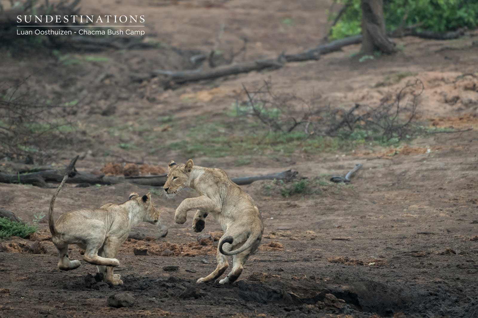 Lions Play in the Maseke