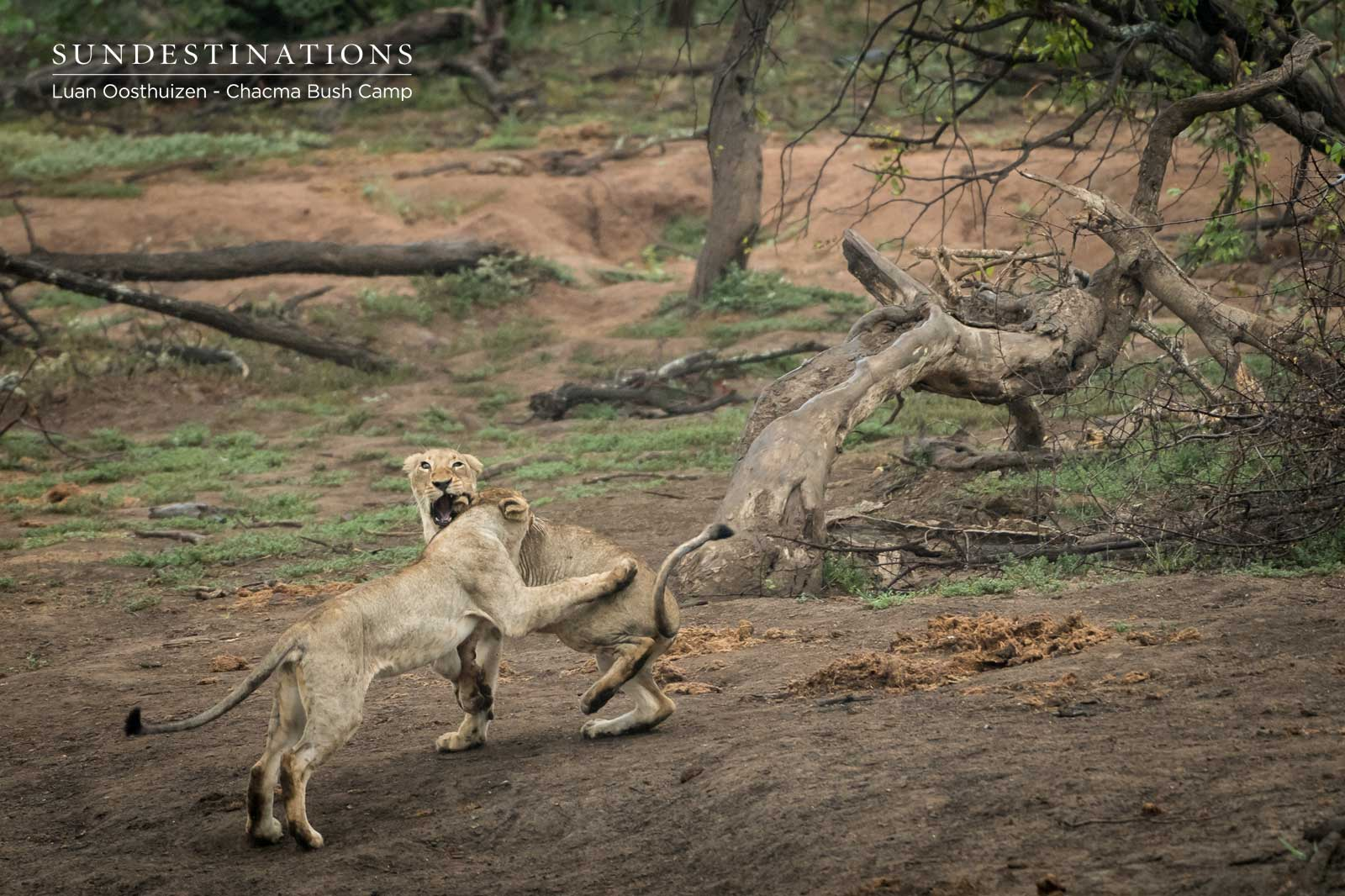 Lions at Chacma Play Fight