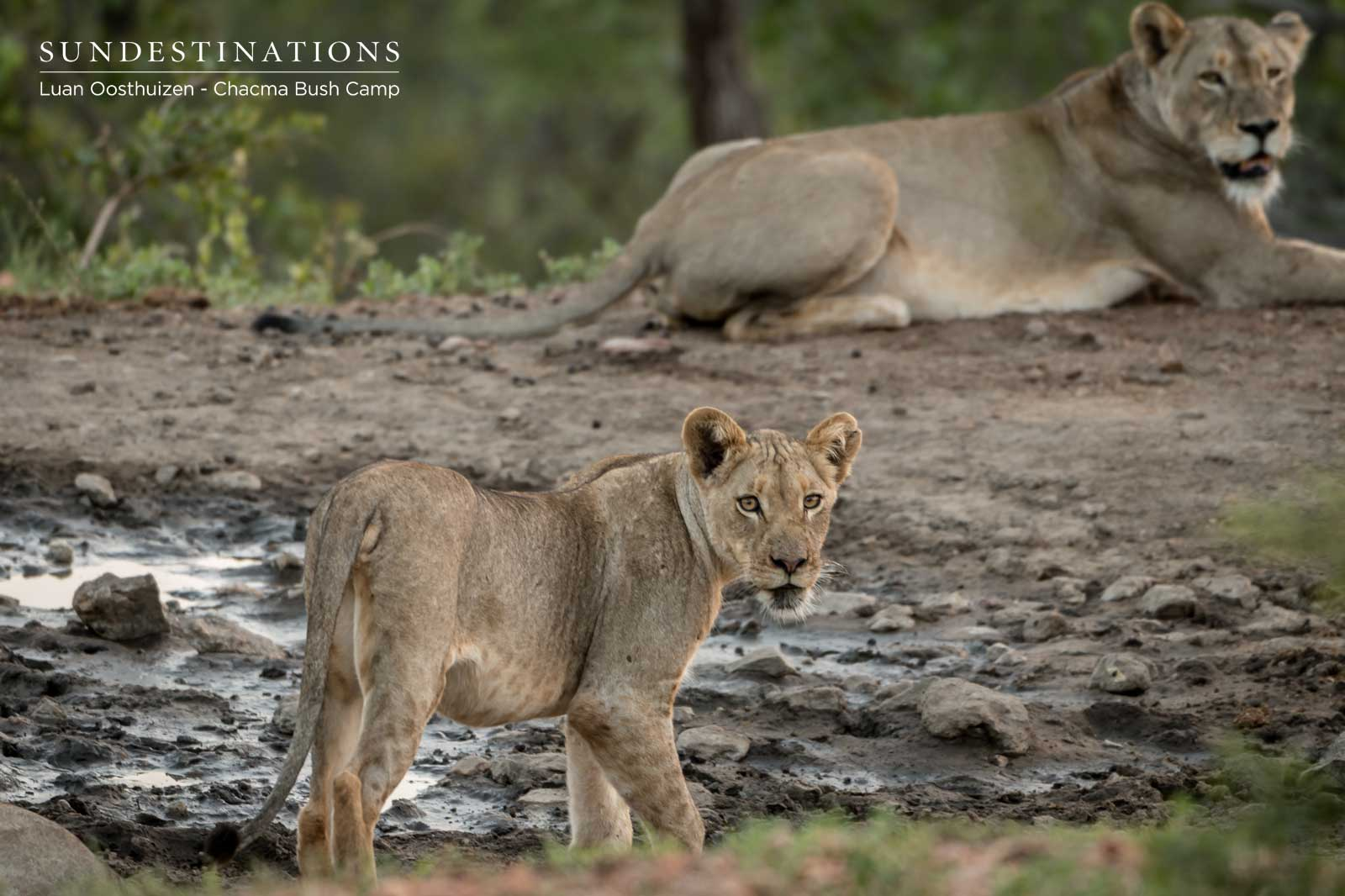 One of the Cubs of the Maseke