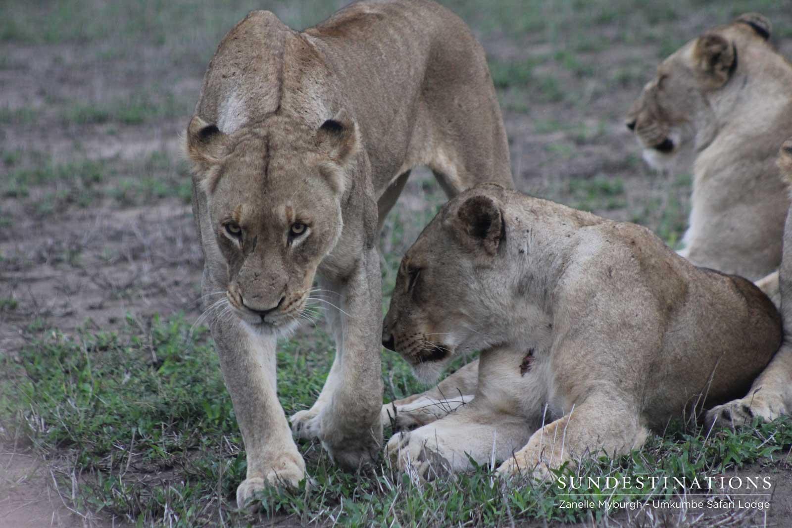 Kambula Females