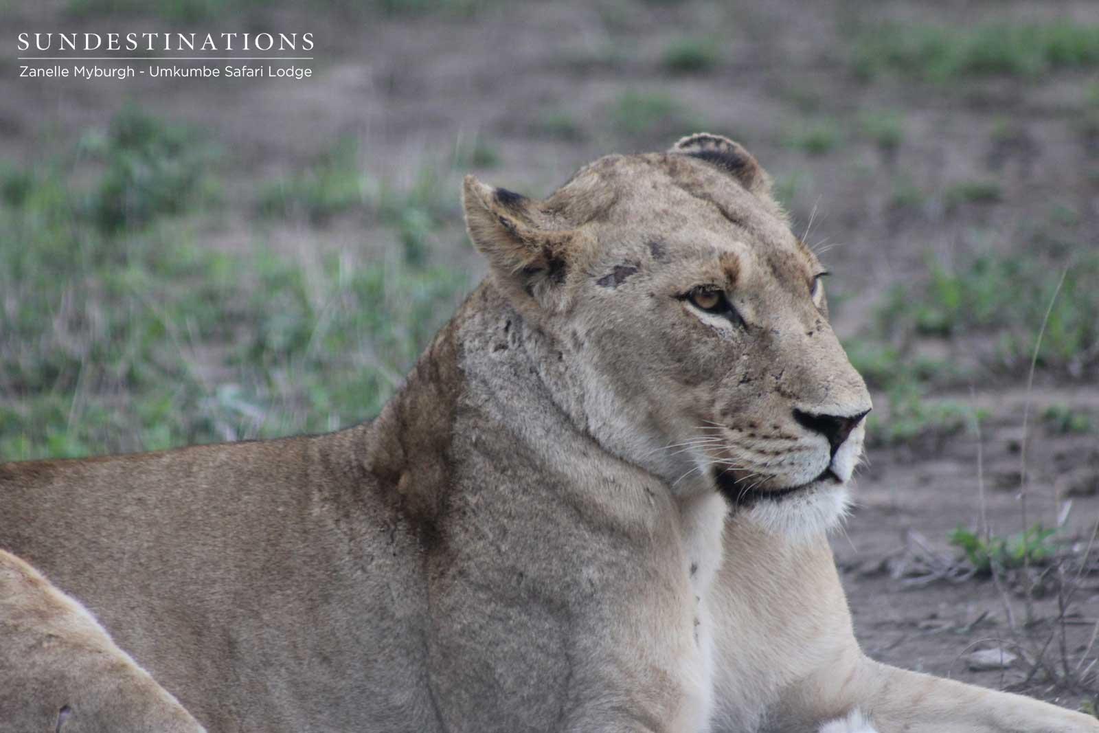 Kambula Lioness
