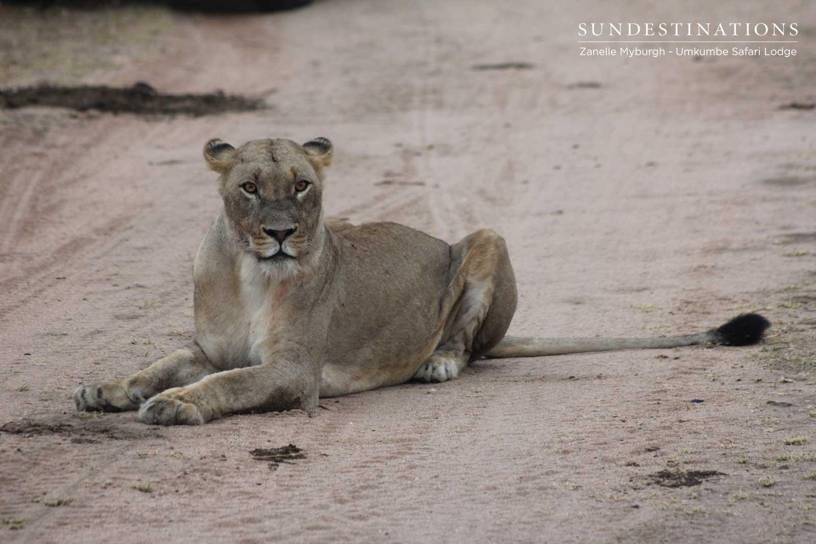 Kambula Lioness Resting
