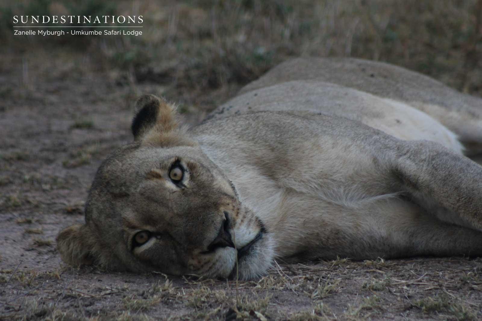 Sabi Sand Lions