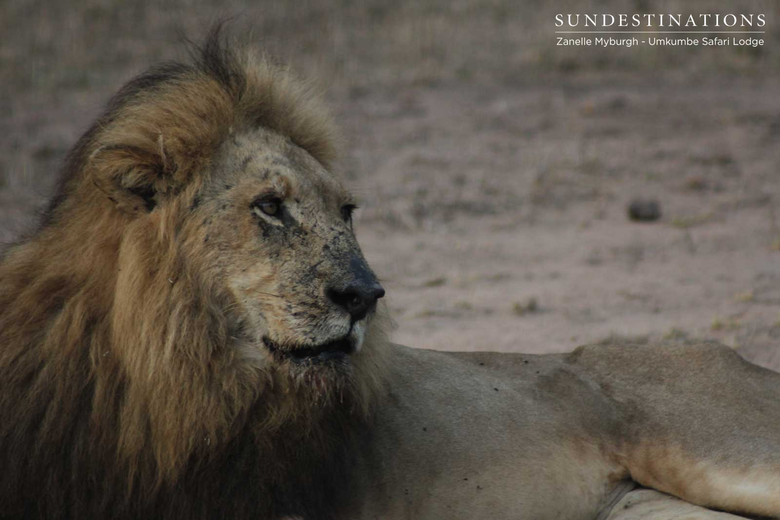 Umkumbe Lion Update : Kambula Lionesses are Doing the Rounds !