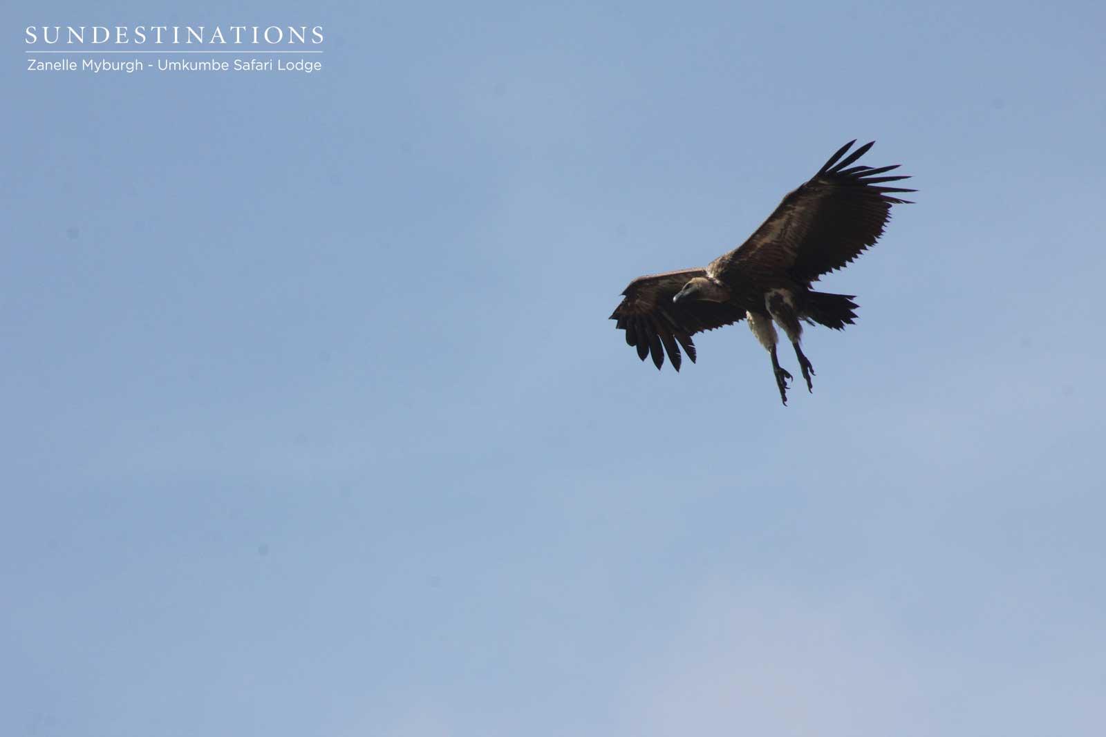 Vulture Umkumbe