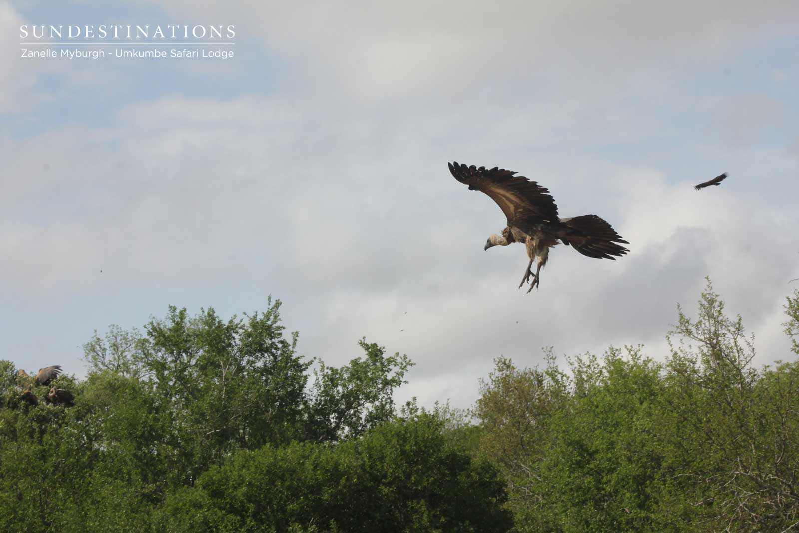 Vulture Descends on Prey