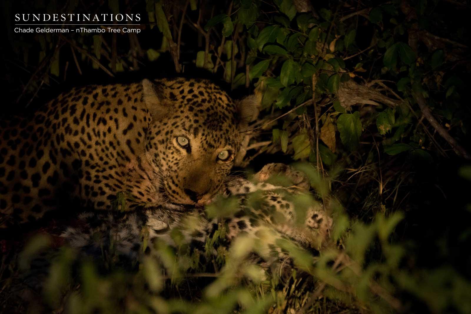 Male Leopard Killing Young Leopard Cub