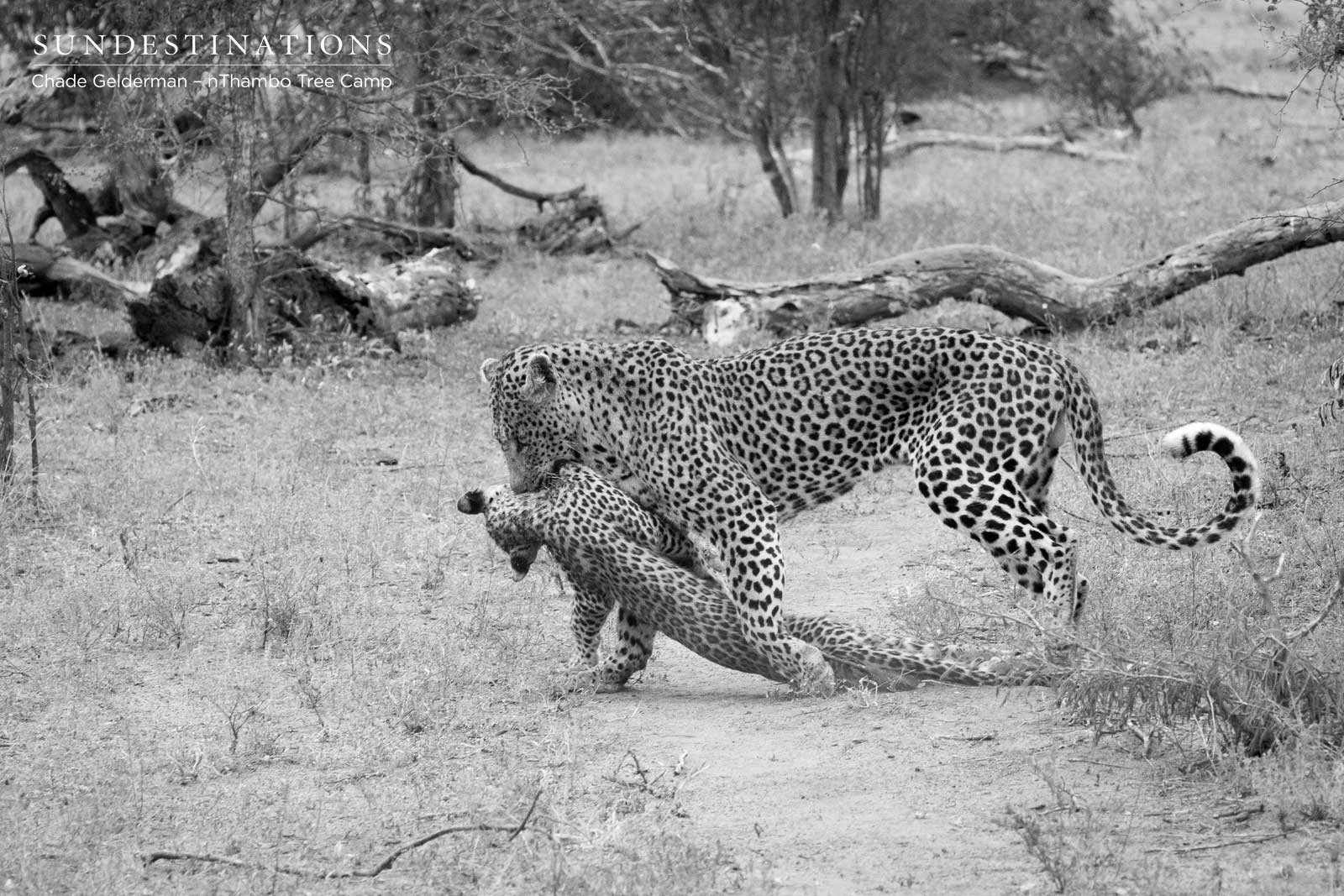 Massive Male Leopard Kills 6 Month Old Leopard Cub, Then Eats It