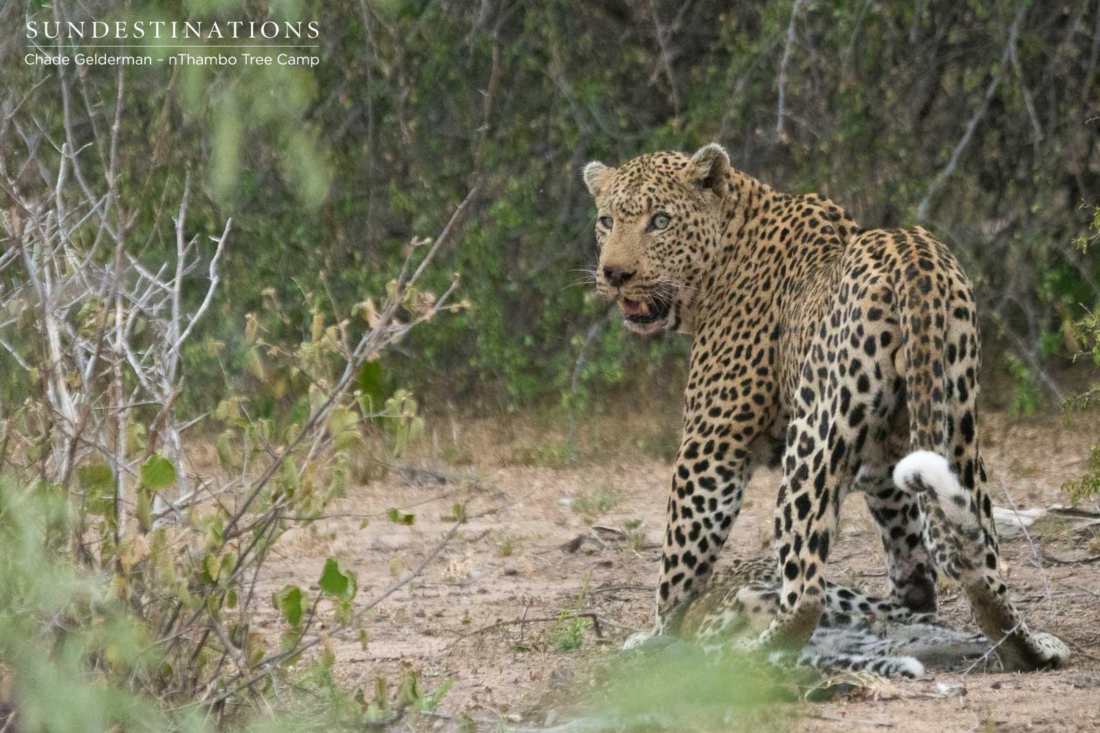 Male Leopard on Kill